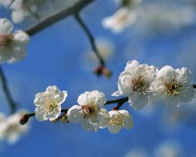 南高梅の産地 紀州南部の梅の花